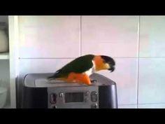 Looks like River Dance. Must be an Irish Parrot. River dance parrot is awesome Caique Parrot, Parrot Pet, Parrot Toys, Irish Songs, Irish Dance, Funny Birds, Funny Animals, Small Birds, Pet Birds