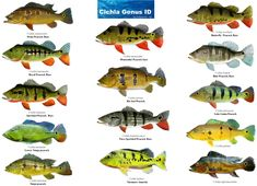 Cichlid, any species of fish in the family Cichlidae (order Perciformes), including many popular aquarium fishes. Cichlid Aquarium, Aquarium Fish, Aquarium Sump, Peixes Tetra, Fish Chart, Oscar Fish, Peacock Bass, Monster Fishing, Kunst Poster