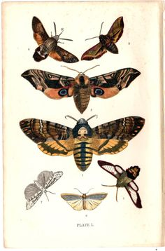 Antique 1896 British Moths Lithograph Plate 1 J W Tutt Published George Routledge and Sons Ltd London Deaths Head Eye Hummingbird Hawk Moth by TheLotAntiquesandArt