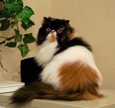 Kittens Cutest, Cute Cats, Funny Cats, Pretty Cats, Beautiful Cats, Simease Cats, Himalayan Cat, Exotic Cats, Persian Kittens