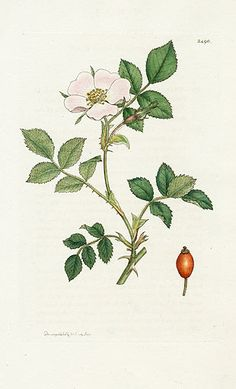 James Sowerby Botanical Prints 1791