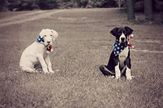 "Vote for Ren and Dom at CanineSuperstar.com ""2 13 week old Dane puppies who love their USA!"" #caninesuperstar #dogs"