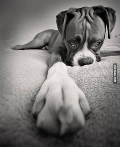 Boxer Black and White Dog Photography Boxer Puppies, Cute Puppies, Cute Dogs, Dogs And Puppies, Doggies, I Love Dogs, Puppy Love, Animals Beautiful, Cute Animals