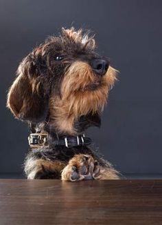 Rauhaardackel Funny Dog Toys, Best Dog Toys, Funny Dogs, Best Dogs, Cute Dogs, Dachshund Puppies, Dachshund Love, Daschund, Puppies Gif