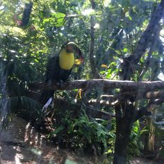 Zoo Miami tucán