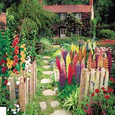 Hollyhocks and lupins