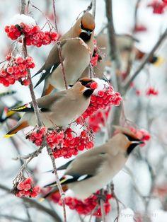 Winter birds.... Cedar waxwings