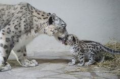 Zoo babies The Snow leopard, Milla, and her baby pictured in Servion, Switzerland. Baby Zoo Animals, Animals And Pets, Wild Animals, Beautiful Cats, Animals Beautiful, Beautiful Creatures, Cute Funny Animals, Cute Cats, Le Zoo