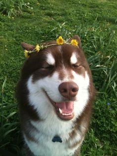 Queen of Spring #husky #dog
