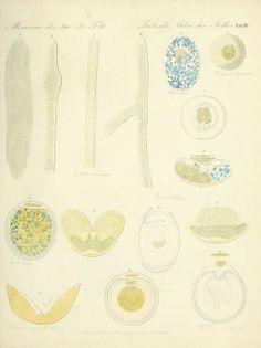 Ueber den Pollen (1837)