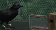 Strombo | The Crow: Watch This Bird Use Tools To Get Food Super smart these birds!