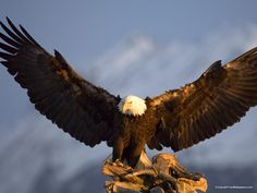 Bald Eagle Preparing itself to Fly