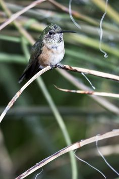 Tiny hummingbird perches, hidden in desert plants of Tucson, Arizona's Sonoran Desert – Learn more about viewing hummingbirds at http://www.examiner.com/article/hummingbirds-begin-nesting-southeastern-arizona?cid=rss