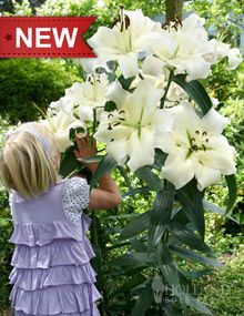 """Pretty Woman Tree Lily -- sun/partial sun; 8"""" fragrant blooms; strong stems/no staking; Grows 3-4' the first year, 5-6' the second year and up to an 6-8' at maturity; 20-30 flowers on each plant by third growing season; Easy to grow; Perennial in Zones 3 - 10; Mid summer."""