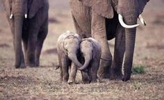 These baby elephants were holding trunks as they ran with their family.