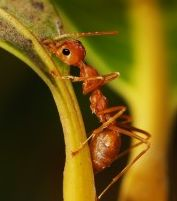 Fire ants are bothersome to your family and pets and can sting when their mounds are imposed upon. It is best to prevent your yard from becoming home to fire ants or to get rid of them once they become apparent. Contact your nearest HomeTeam branch office to find out how you can help control fire ants in your yard.