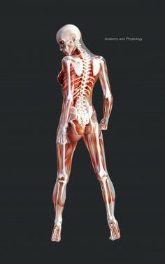 Human Anatomy Female, Human Skeleton Anatomy, Female Skeleton, Human Anatomy Drawing, Human Figure Drawing, 3d Skeleton, Girl Anatomy, Anatomy Poses, Body Anatomy