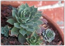 hen and chicks... plants my grandmother had when I was little... instructions for upkeep