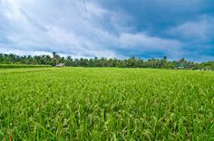 Bali Rice Fields by Alvin Tham on 500px