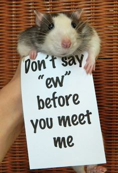I finally found the source page ^o^ . / Rats adorably protesting against common rat misconceptions. (karasratworld.tumblr.com)