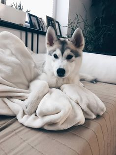 Wonderful All About The Siberian Husky Ideas. Prodigious All About The Siberian Husky Ideas. Cute Husky Puppies, Husky Puppy, Pet Dogs, Dog Cat, Doggies, Dog School, Cute Baby Animals, Funny Animals, Cute Dogs Breeds