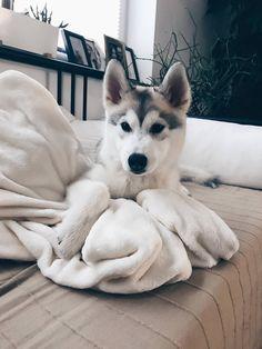 Wonderful All About The Siberian Husky Ideas. Prodigious All About The Siberian Husky Ideas. Cute Husky Puppies, Husky Puppy, Dog School, Cute Dogs Breeds, Beautiful Dogs, Cute Baby Animals, Dog Life, Pet Dogs, Doggies