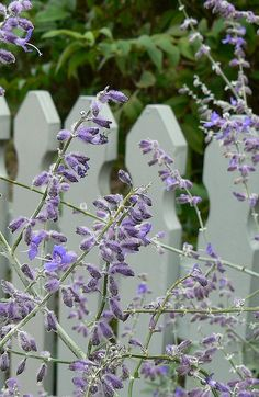 Purple Flowers & White Picket Fence