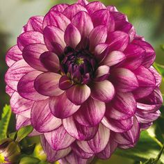 Deer Resistant Plants and Flowers - Colorful Decorative Dahlia Seduction