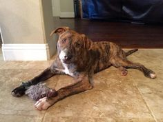 Meet Carr, a Petfinder adoptable Boxer Dog | Frisco, TX | Carr was saved when someone tied him and his brother to a guardrail in Dallas during the flooding;...