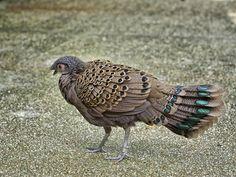 Malayan Peacock-Pheasant _ JBP ☺ | by mahi mahi 163