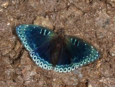 Butterflies of temperate Asia - Stibochiona nicea