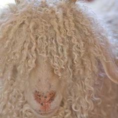 Mohair and More Angora Goat and Mohair Fiber Slideshow