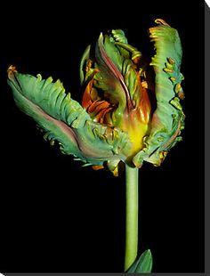 """Parrot Tulip Rococo "" by Jenni77 | Redbubble"