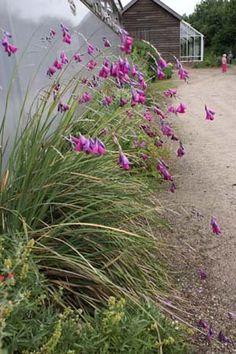 Änglametspö Dierama pulcherrimum 'Flaring Tips'