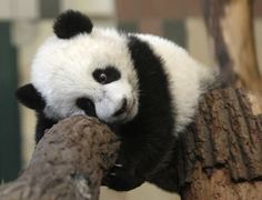 """<b>Happy birthday you relentlessly adorable little panda face, you!</b> Fu Hu (""""Lucky Tiger"""") celebrates with his mom at Schoenbrunn Zoo in Vienna, Austria."""