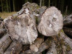 Log Pile. Beecraigs Country Park.