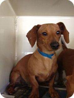 Rockaway, NJ - Dachshund. Meet Slugger SCAS, a dog for adoption. http://www.adoptapet.com/pet/11895930-rockaway-new-jersey-dachshund