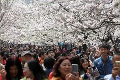 Tourists take pictures as cherry blossoms bloom in Nanjing, Jiangsu province, China, March 21, 2017. REUTERS/Stringer #China #CherryBlossoms