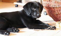 A free, comprehensive and in-depth guide to crate training your Labrador puppy by best selling author and Labrador expert Pippa Mattinson