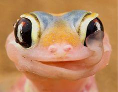 L'image du jour : Un gecko lèche la rosée du matin sur ses grands yeux.