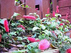 Acalypha reptans - Rabo-de-gato, Acalifa, Acalifa-rasteira - herbácea e florífera, com suas inflorescências vermelhas, com textura de pelúcia. Presta-se como forração. Devem ser cultivados a pleno sol ou meia sombra.