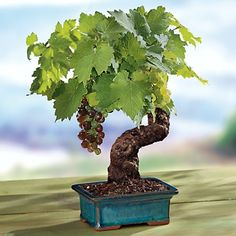 ThanksCabernet Grape Bonsai, from Harry  David. Already 10 to 12 years old, this bonsai has the gnarly look and venerable character youd expect to see only in an ancient hillside vineyard. awesome pin