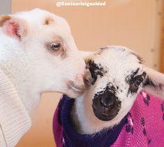 El corazón de las ovejas es el más noble y bondadoso  Las ovejas son sin duda uno de los animales más buenos que existen en el planeta. Son pacíficas solidarias bondadosas y aman con todo su corazón a sus familias y amigos. Para ellas no existen las jerarquías ni las rivalidades. Siempre son las primeras en recibir a los nuevos rescatados que llegan al santuario ya que les encanta hacer nuevos amigos y tener una gran familia con quien compartir la vida. Es por esto que Sofía y Clarita a…