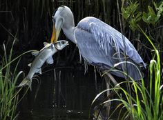 Mullet for Breakfast - Great blue heron with a mullet fish .... South Padre Island, Texas, USA