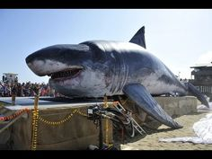 Real Megalodon Found - World's Biggest Shark Ever Found. BRILLIANT SHOTS WORTH WHILE TO WATCH