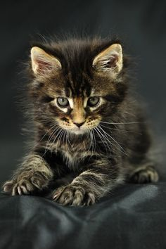 Odin Maine Coon kitten -- looks like trouble!