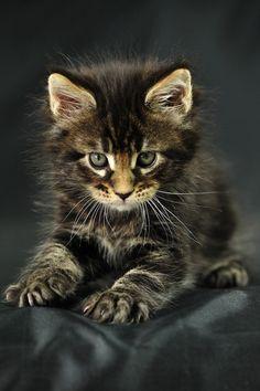 Odin Maine Coon kitten -- looks like trouble!