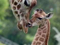 Tiere afrika kurifun: Source: Animals of Africa Cute Baby Animals, Animals And Pets, Funny Animals, Wild Animals, Giraffe Art, Cute Giraffe, Giraffe Pictures, Animal Pictures, Giraffe Images