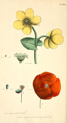 Thirty-eight plates, with explanations intended ti illustrate Linnaeus's System... 1788 : Illustrations by Fredrick Nodder - Biodiversity Heritage Library     Poppy