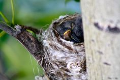 Baby Yellow Warblers